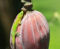Groene gekko royalty-vrije stock foto's