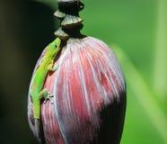 Groene gekko stock afbeeldingen