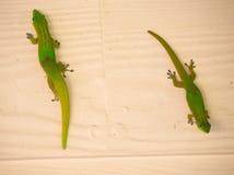 Groene gekko royalty-vrije stock afbeelding