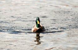 Groene geleide wilde eend die de camera bekijken Royalty-vrije Stock Foto's