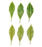Groene geplaatste bladeren Royalty-vrije Stock Afbeeldingen