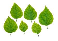Groene geplaatste bladeren Stock Afbeelding
