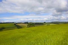 Groene gerstgebieden Stock Afbeelding