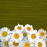 Groene gestreepte achtergrond met vele bloemen van kamille Stock Foto's