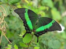 Groene Gestreepte Swallowtail Stock Foto