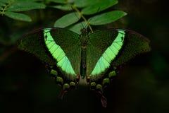 Groene gestreepte Swallowtail-vlinder royalty-vrije stock foto