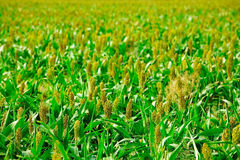 Groene gewassen stock foto