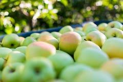 Groene Gouden appelen (- heerlijk) Stock Afbeelding