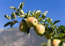 Groene Gouden appelen (- heerlijk) op tak Royalty-vrije Stock Afbeeldingen