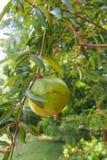 Groene granaatappel stock foto
