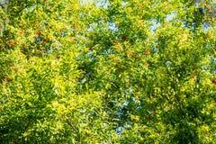 Groene granaatappelbomen met bloemen in tuin stock foto