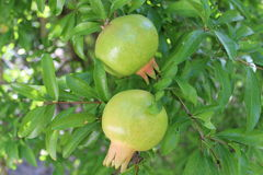 Groene granaatappels Royalty-vrije Stock Foto
