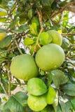 Groene grapefruit op boom stock afbeelding