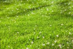 Groene gras en bloembloemblaadjes Royalty-vrije Stock Foto