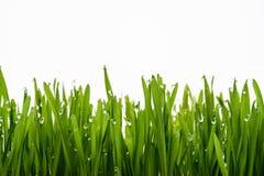 Groene gras en dauw royalty-vrije stock fotografie