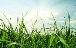 Groene gras en zonhemel Stock Foto