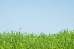 Groene gras natuurlijke achtergrond Stock Afbeelding