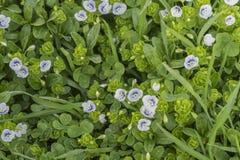 Groene grasachtergrond met wit-blauwe bloemen royalty-vrije stock afbeeldingen