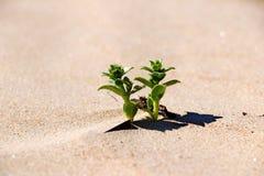 Groene grasinstallaties op het gele zand van de strandclose-ups stock foto's