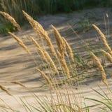 Groene grasinstallaties op het gele zand van de strandclose-ups Groen gras en geel zand stock fotografie