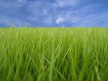 Groene grasmacro Royalty-vrije Stock Afbeeldingen