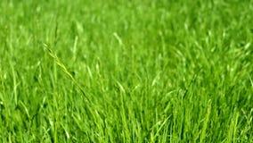 Groene grasweide, blauwe hemel en zonlicht in de zomer, aardachtergrond stock footage