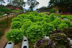 Groene groente van de installatie de organische hydrocultuur stock afbeelding