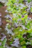 Groene groenten, het organische Groeien zonder Grond Royalty-vrije Stock Afbeeldingen