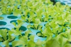 Groene groenten, het organische Groeien zonder Grond Royalty-vrije Stock Fotografie