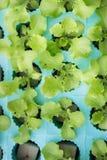 Groene groenten, het organische Groeien zonder Grond Stock Afbeelding