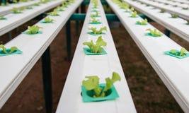 Groene groenten, het organische Groeien zonder Grond Stock Afbeeldingen