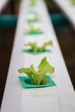 Groene groenten, het organische Groeien zonder Grond Stock Foto