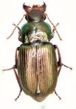 Groene Grondkever Harpalus op witte Achtergrond Royalty-vrije Stock Afbeeldingen