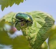 Groene grote Chafer op groen verlof Zonnige de zomerdag stock afbeelding