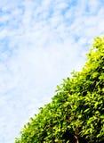 Groene haag diagonale, blauwe hemel stock afbeeldingen