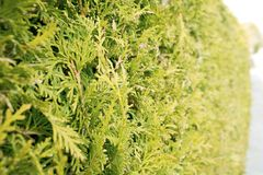 Groene Haag van Bomen Thuja Bush, thujatextuur Bladeren van pijnboomboom royalty-vrije stock foto's