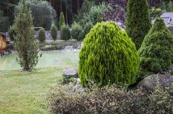 Groene Haag van Bomen Thuja Groene haag van de tui boom Aard, Achtergrond royalty-vrije stock afbeelding