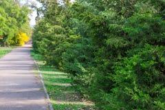 Groene haag van de steeg van thujabomen in stadspark royalty-vrije stock afbeelding