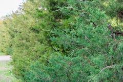 Groene Haag van Thuja-Bomencipres of jeneverbes De groene natuurlijke achtergrond van Bush De bladeren van pijnboomboom sluiten o royalty-vrije stock afbeeldingen