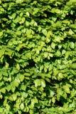 Groene haagbeukegel in de lente dichte omhooggaand royalty-vrije stock afbeelding