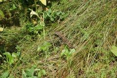 Groene hagedis in het gras onder het gebrande stro Royalty-vrije Stock Afbeeldingen