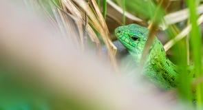 Groene hagedis in het gras reptielen Ongebruikelijke dieren Het leven in de wildernis Vrije ruimte voor tekst stock afbeelding