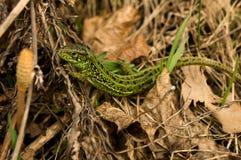 Groene hagedis in het grijze gras Stock Foto's