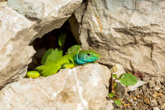 Groene hagedis - Lacerta-viridis Stock Foto