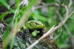 Groene hagedis in natuurlijke voorwaarden royalty-vrije stock afbeelding