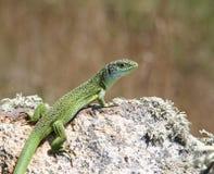 Groene Hagedis op een rots Royalty-vrije Stock Fotografie