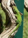 Groene hagedis op gebogen tak Stock Foto
