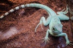 Groene Hagedisagama met gestreepte staart staart door het glas in de dierentuin van Kiev stock foto's