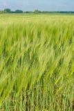 Groene haver Stock Afbeeldingen