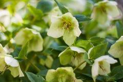 Groene helleborebloemen in volledige bloei stock foto